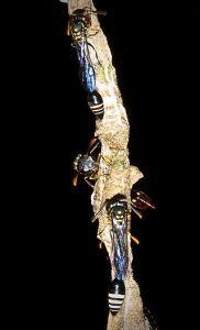 A close up of some waspies.  Photo credit: David Baracchi via Wikipedia