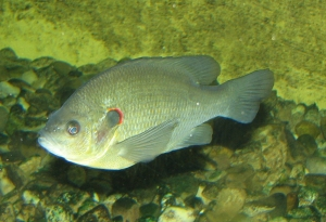 See the bright red gill cover? It does kind of look like an ear.  Image source: Wikipedia