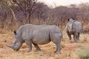 Some white rhinoceri, just hanging out, notably bring grey, not white. Nobody really knows why white rhinos are called white and black rhinos are called black.  Image credit: Ikiwaner via Wikipedia