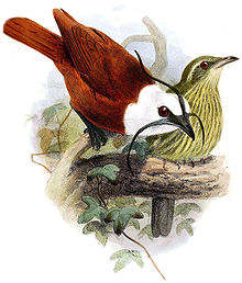 A drawing of a male and female three-wattled bellbird.  Image source: Wikipedia