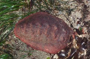 The backside of a chiton, with the eight plates visible. Image credit: Jerry Kirkhart, via Wikipedia