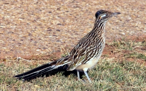 This is what a real roadrunner looks like. Image source: Wikipedia