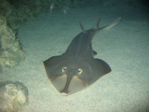 Half shark, half ray. Pretty neat looking, I say. Image source: Wikipedia