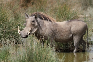 They are pretty, aren't they? Image source: http://africawildlife.org/warthog/