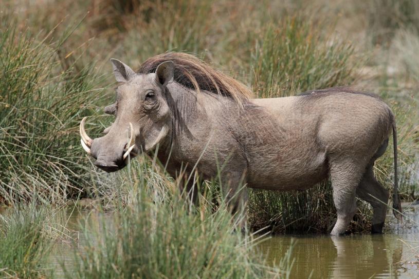 warthog phacochoerus africanus our wild world