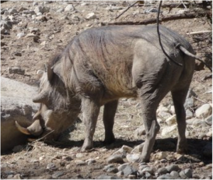 A warthog, seen from one of its many best sides. It's looking for something good. Photo credit: The author