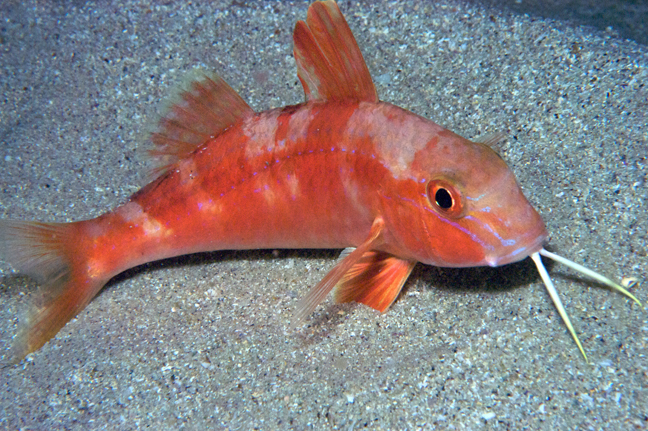 Indian ocean our wild world for Red mullet fish