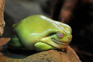 A great example of an obese dumpy frog. Image credit: Joachim S. Müller via Flickr