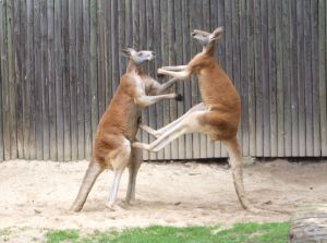 A typical boxing match between kangaroos. Image credit: Dellex via wikipedia
