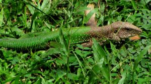 A male ameiva. He's got some pretty nice camouflage going on there.  Image credit: D. Gordon E. Robertson via Wikipedia