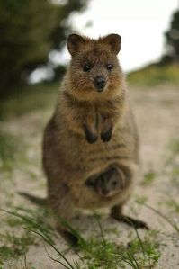 A quokka with a baby in its pouch.  Image source: https://www.pinterest.com/seeaustralia/australias-cute-animals-quokkas/