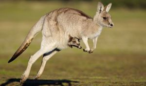 A kangaroo hopping along with a joey in its pouch. The hopping motion of kangaroos is more efficient at higher speeds than quadrupedal running. Image source: http://www.express.co.uk/life-style/top10facts/441768/Top-ten-facts-about-kangaroos