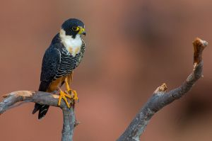 OFalco_rufigularis_Bat_Falcon