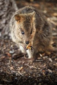 A cute little quokka having a nice snack.  Image credit: Vicsandtheworld via Wikipedia
