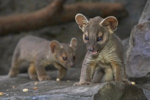Most baby animals are cute, but fossas just look creepy. Image source: http://www.zooborns.com/zooborns/fossa/