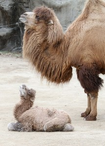A baby bactrian camel, which looks even funnier than its mother.  Image source: http://www.zooborns.com/zooborns/camel/