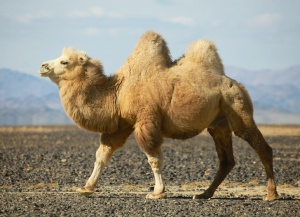 A bactrian camel showing off its extremely furry coat.  Image source: http://inhabitat.com/snow-leopards-are-fashions-next-victim/bactrian-camel/