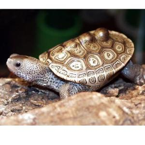 A baby terrapin looking pretty cute. Image source: Wikipedia