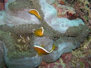 Here's a Merten's anemone all folded up. Image source: http://animal-world.com/Aquarium-Coral-Reefs/Mertens-Carpet-Anemone#Habitat: Distribution / Background