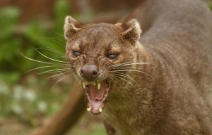A very fierce looking fossa. Image source: http://thezt2roundtable.com/profile/3989503/