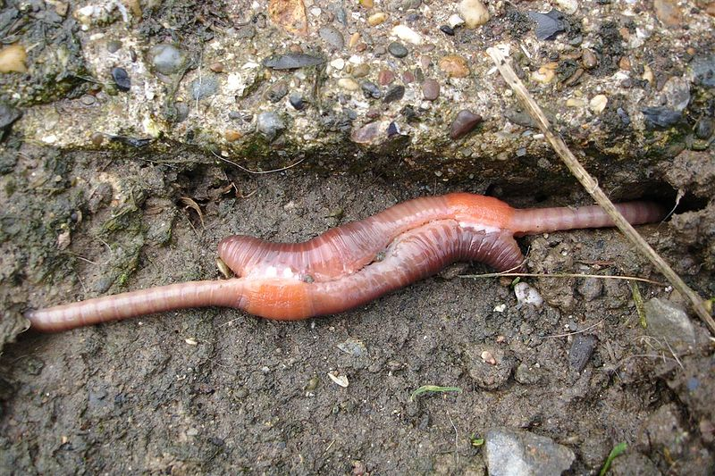 800px-Mating_earthworms