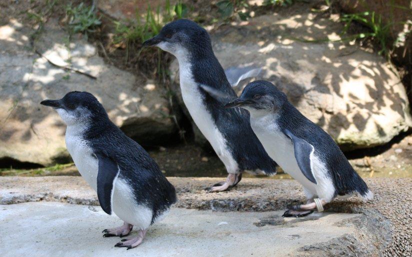 Eudyptula_minor_-Canberra_Zoo,_Australia-8a