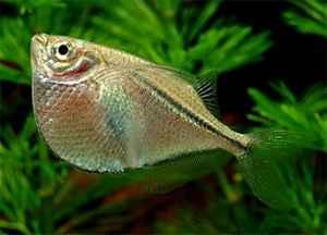 commonhatchetfish1