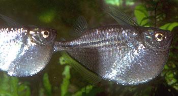 Hatchetfish4