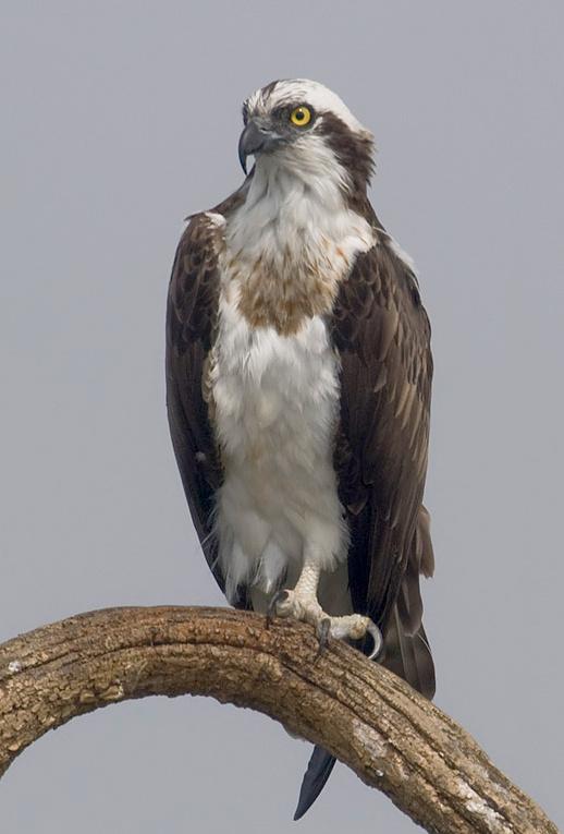 2010-kabini-osprey