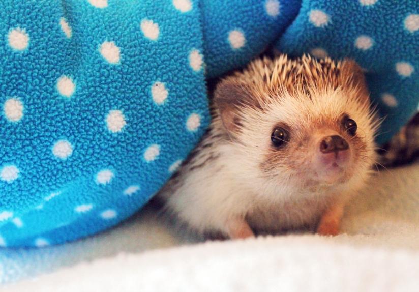 Herbert-the-hedgehog