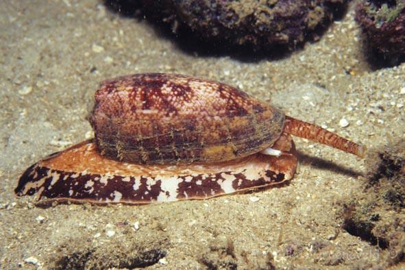 IL2-013 Geographic Cone, Conus geographus