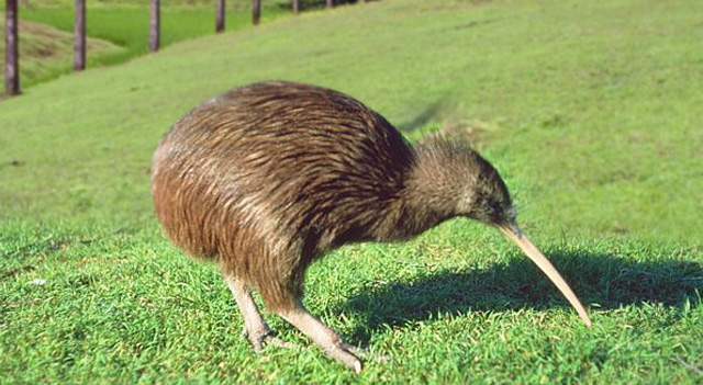 kiwis-birds-search-food