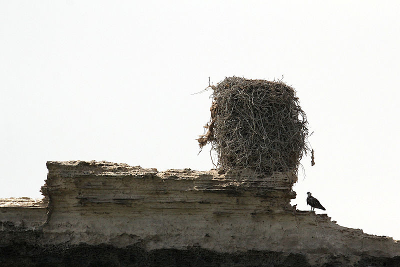 Osprey_with_its_nest