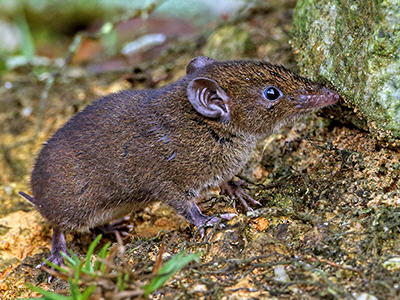 short-tailed-gymnure-1