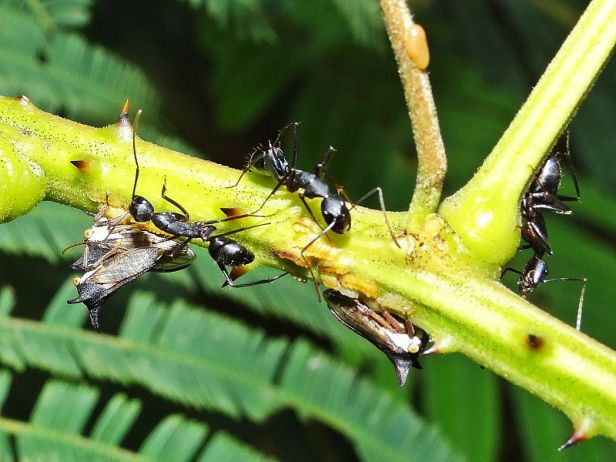 Treehopper_CarpenterAnts