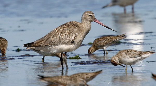 vic-battailedgodwit-large