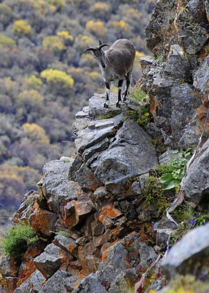 800px-Bharal,_Himalayan_blue_sheep_In_Tibet