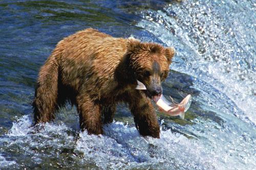 A053,_Katmai_National_Park,_Brooks_Falls,_Alaska,_USA,_bear_and_salmon,_2002