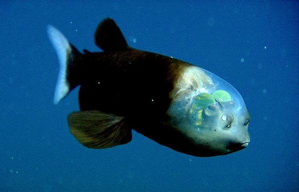 Pacific_Barreleye