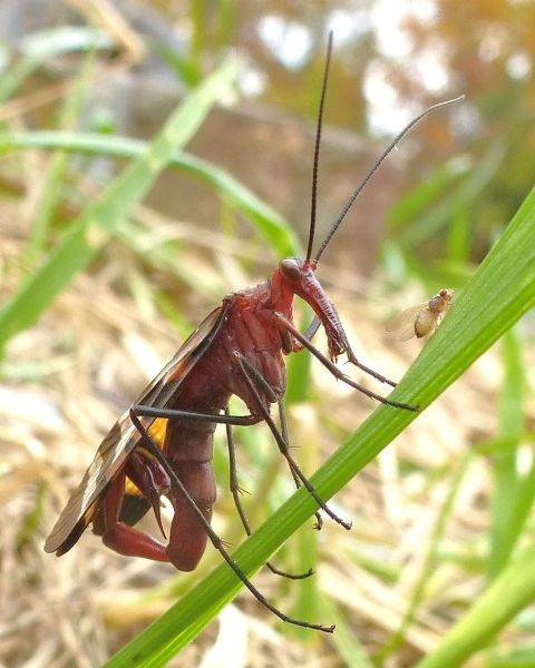 Scorpion_Fly,_Missouri_Ozarks_2