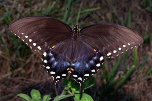 Spicebush_Swallowtail_in_August