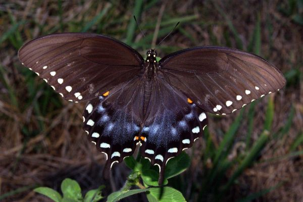 Spicebush_Swallowtail_in_August
