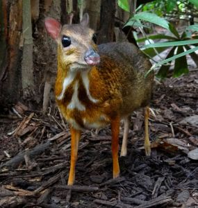 1024px-Mouse-deer_Singapore_Zoo_2012