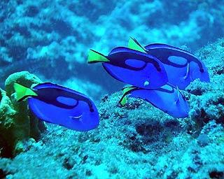 Blue Tang1