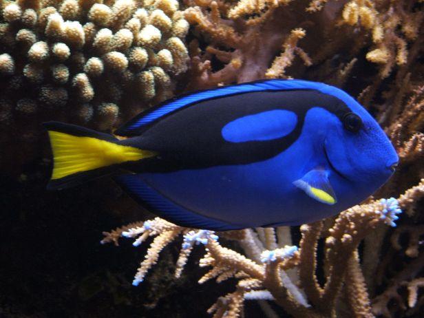 Blue_tang_(Paracanthurus_hepatus)_02