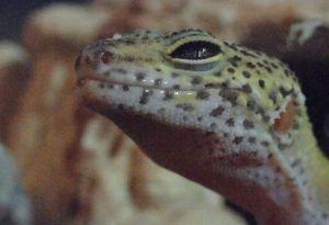 Jo_Jo_Le_Gecko