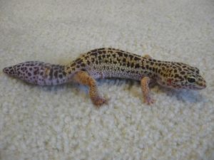 Leopard_gecko_with_new_tail