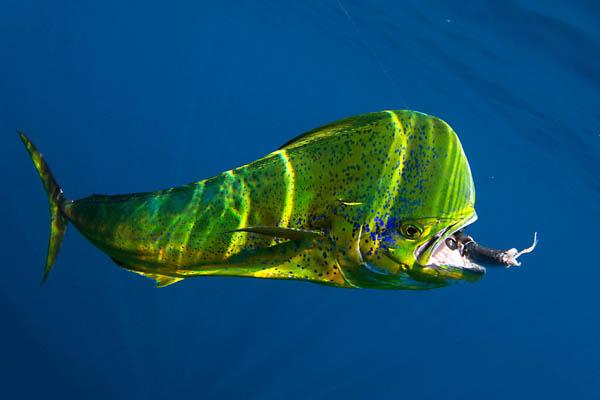 dolphinfish_mahi-mahi_cvl_april2010_mg_7945web-use-only.jpg