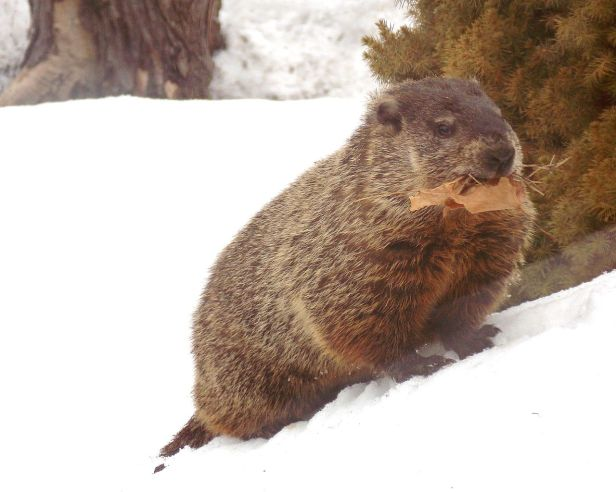Emerged_from_hibernation_in_February,_groundhog_takes_leaves_to_line_the_burrow_nest_or_toilet_chamber_DSCN0900