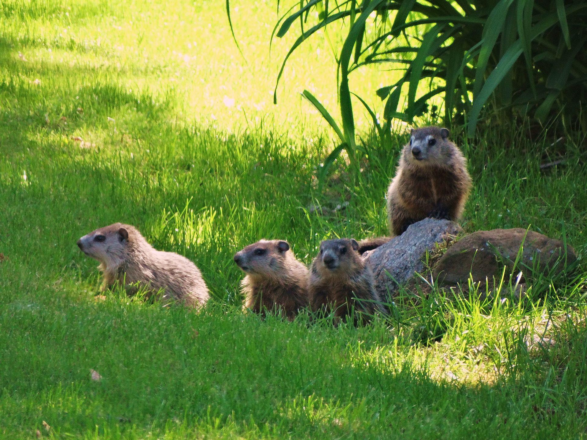 Juvenile_groundhog_siblings_in_early_June_DSC06244...